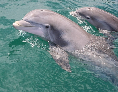 Sarasota Bay Dolphin